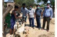 सप्तरीमा नि:शुल्क पशु स्वास्थ तथा बाँझोपन निवारण शिविर